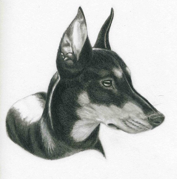 Drawn german pinscher German by on by DeviantArt