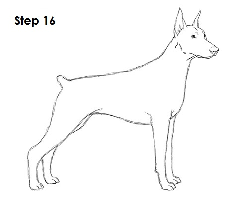Drawn german pinscher To 16 Doberman Pinscher Draw