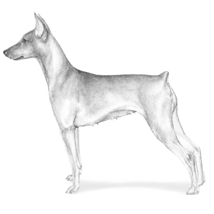 Drawn german pinscher German German American Breed Kennel