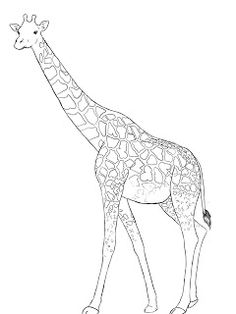 Drawn giraffe To Draw drawing A and