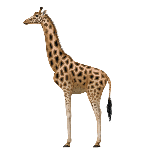 Drawn giraffe To draw Giraffes Animals: giraffe