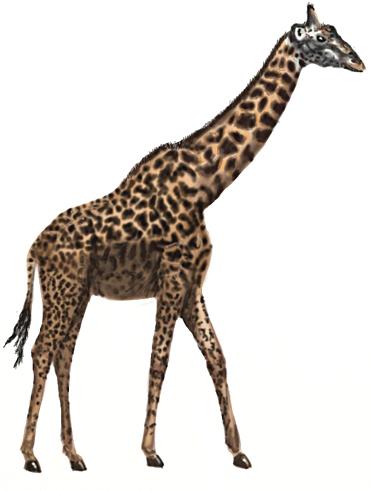 Drawn giraffe To Draw Step a by