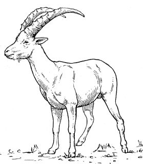 Drawn goat Kinds Goats kinds everything Art