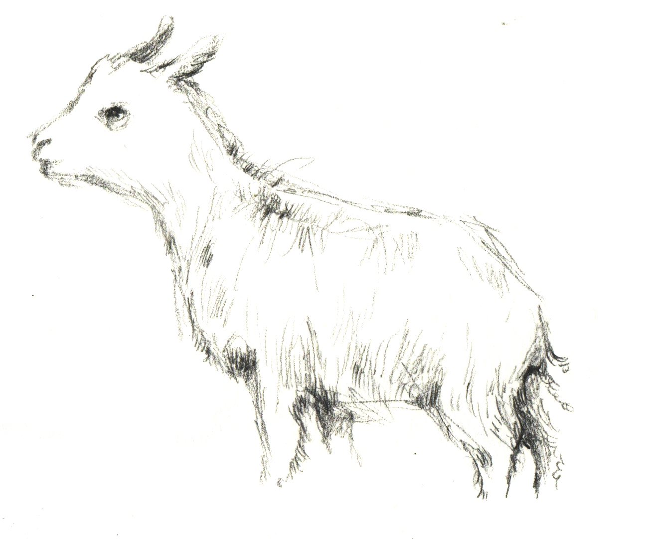 Drawn goat baby goat You nonsense draw in going
