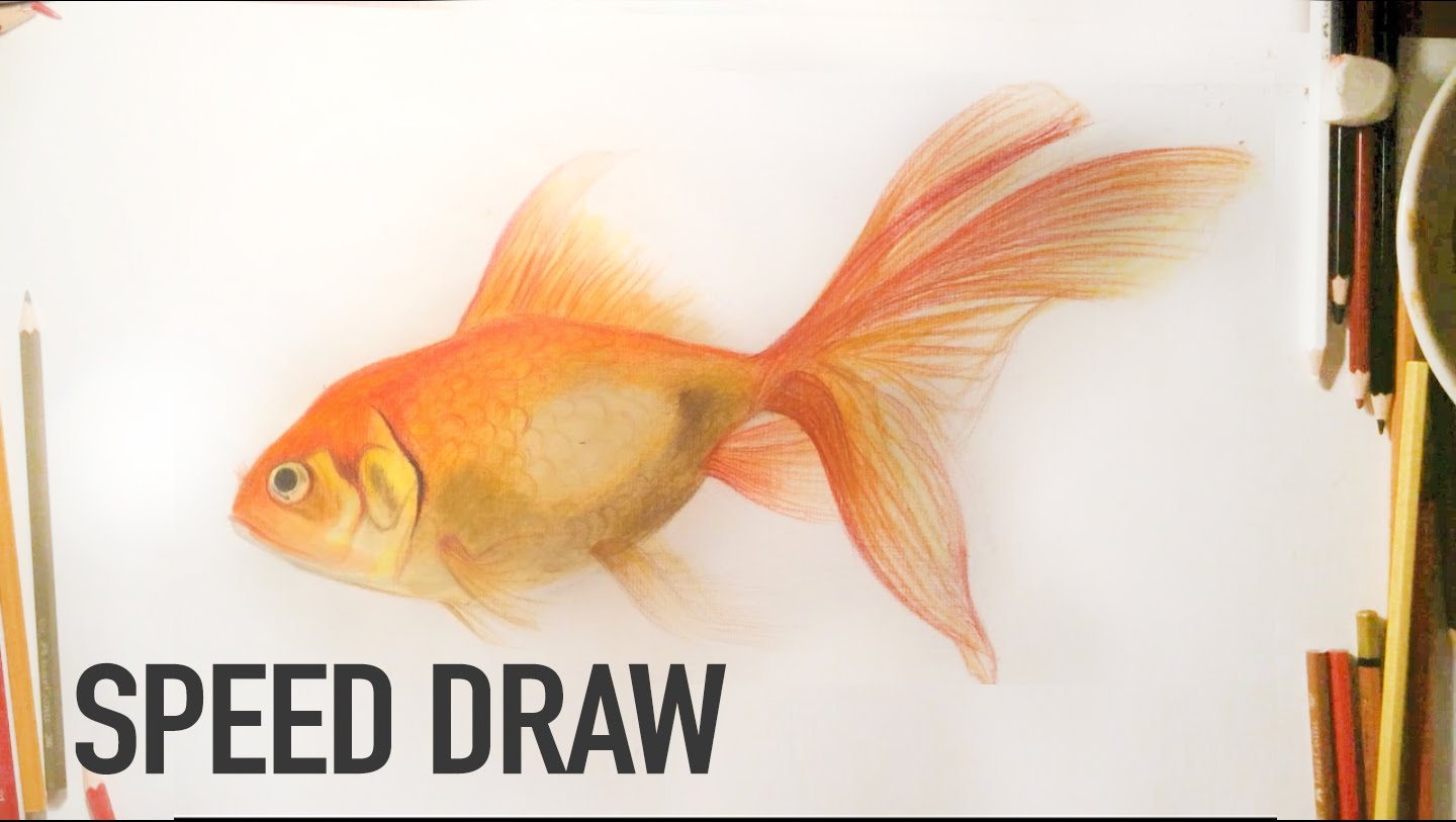 Drawn gold fish Goldfish a realistic Goldfish color
