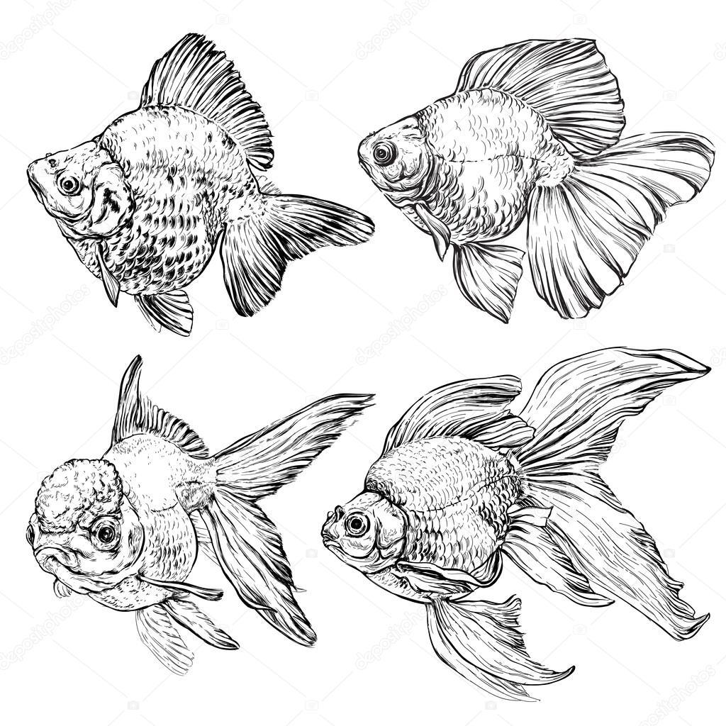 Drawn goldfish © Goldfish set set #75885373