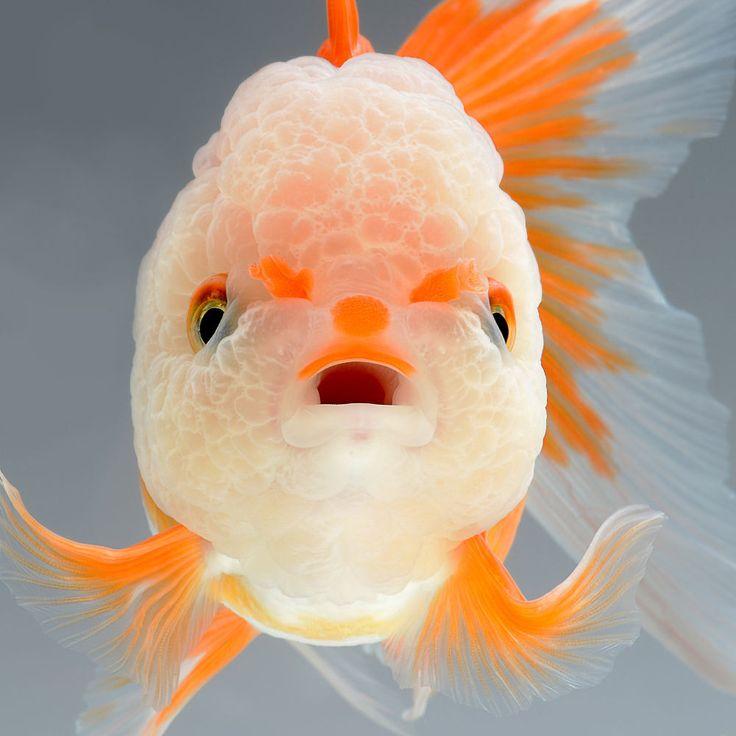 Drawn goldfish fish swimming 25+ Dr #fish the swimming