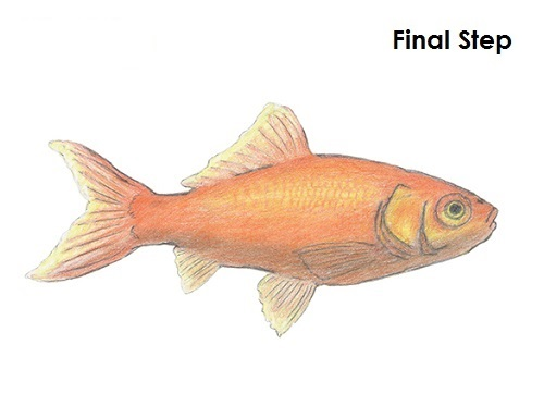 Drawn goldfish small fish A Draw to How Draw