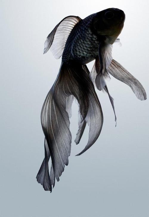 Drawn goldfish fish swimming 25+ on ideas Best Photona