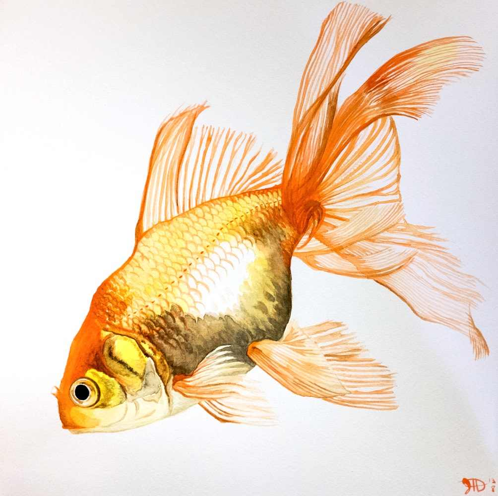 Drawn goldfish fancy goldfish By @deviantART Goldfish Goldfish Fins