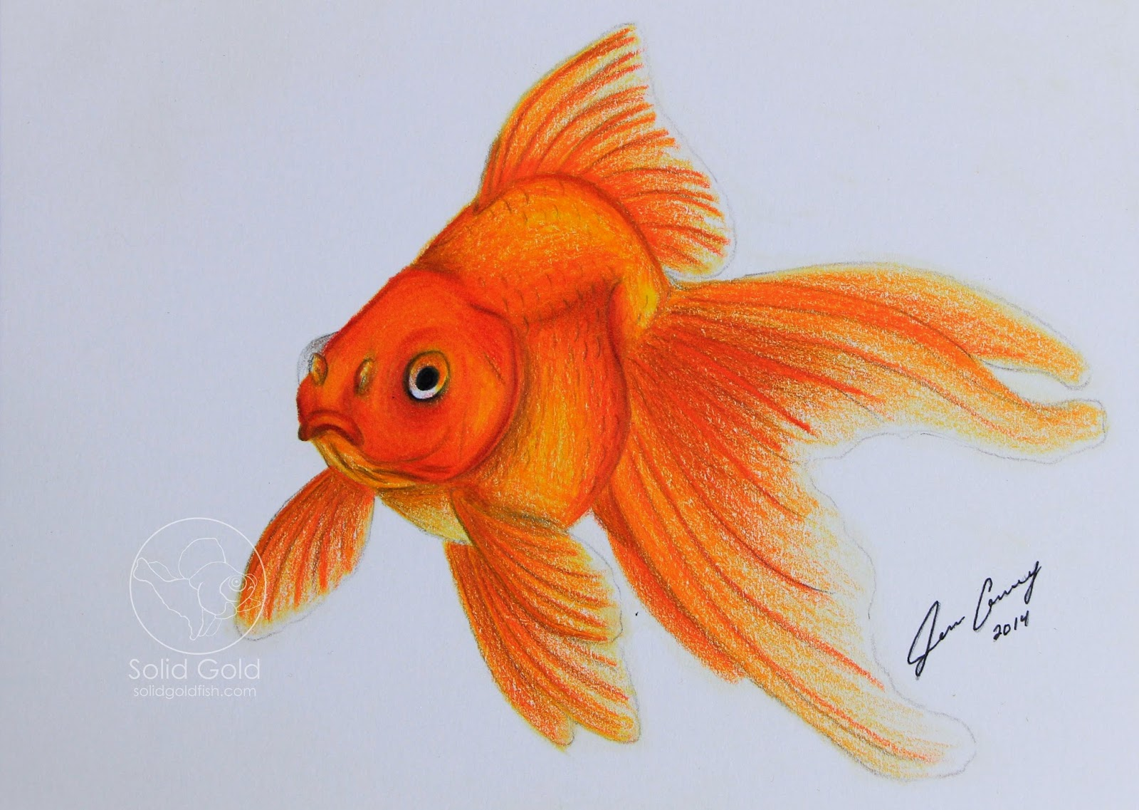 Drawn goldfish fancy goldfish Gold: Red Solid Gold Fantail
