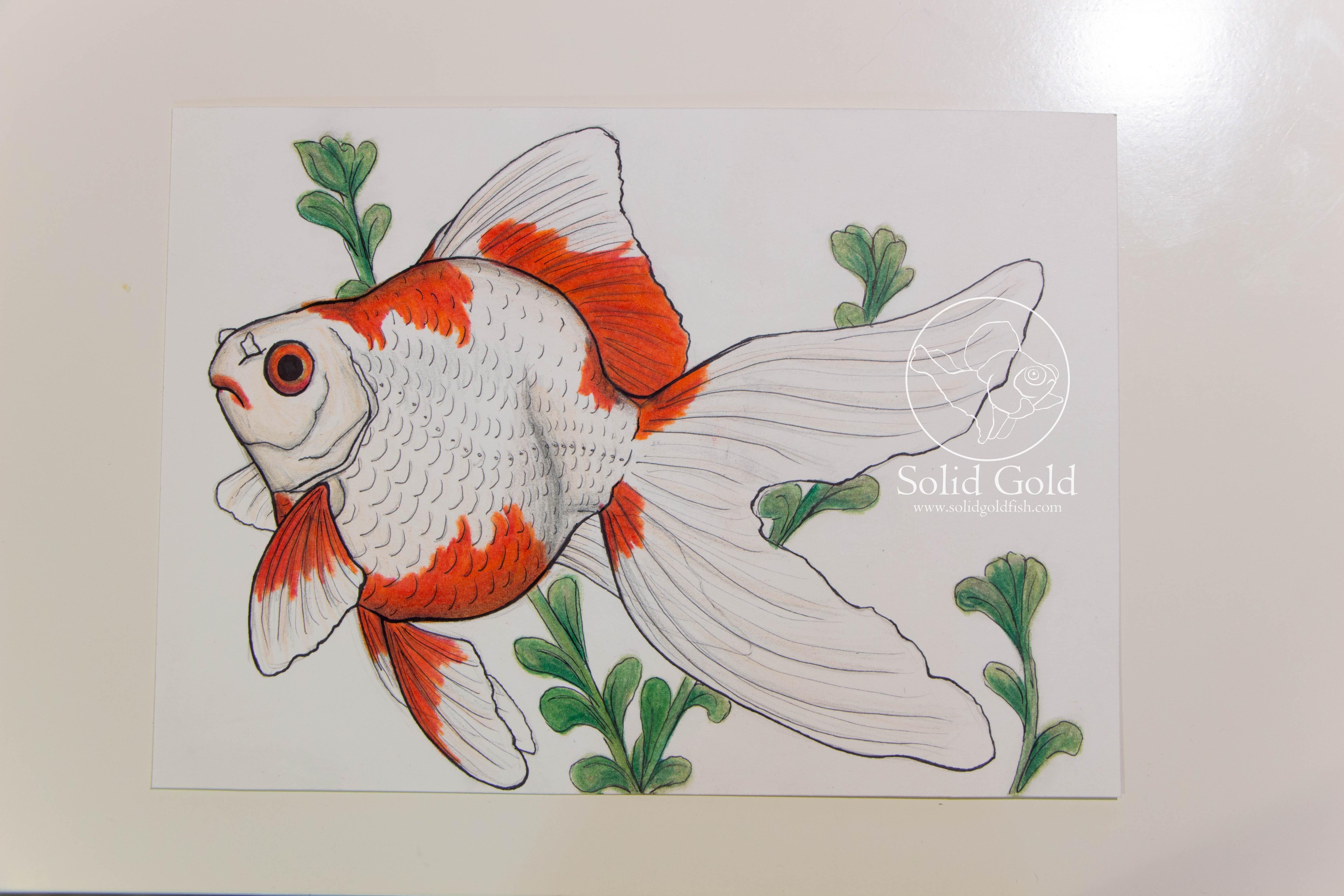 Drawn goldfish fancy goldfish Jennie drawing Tamasaba by Connelly