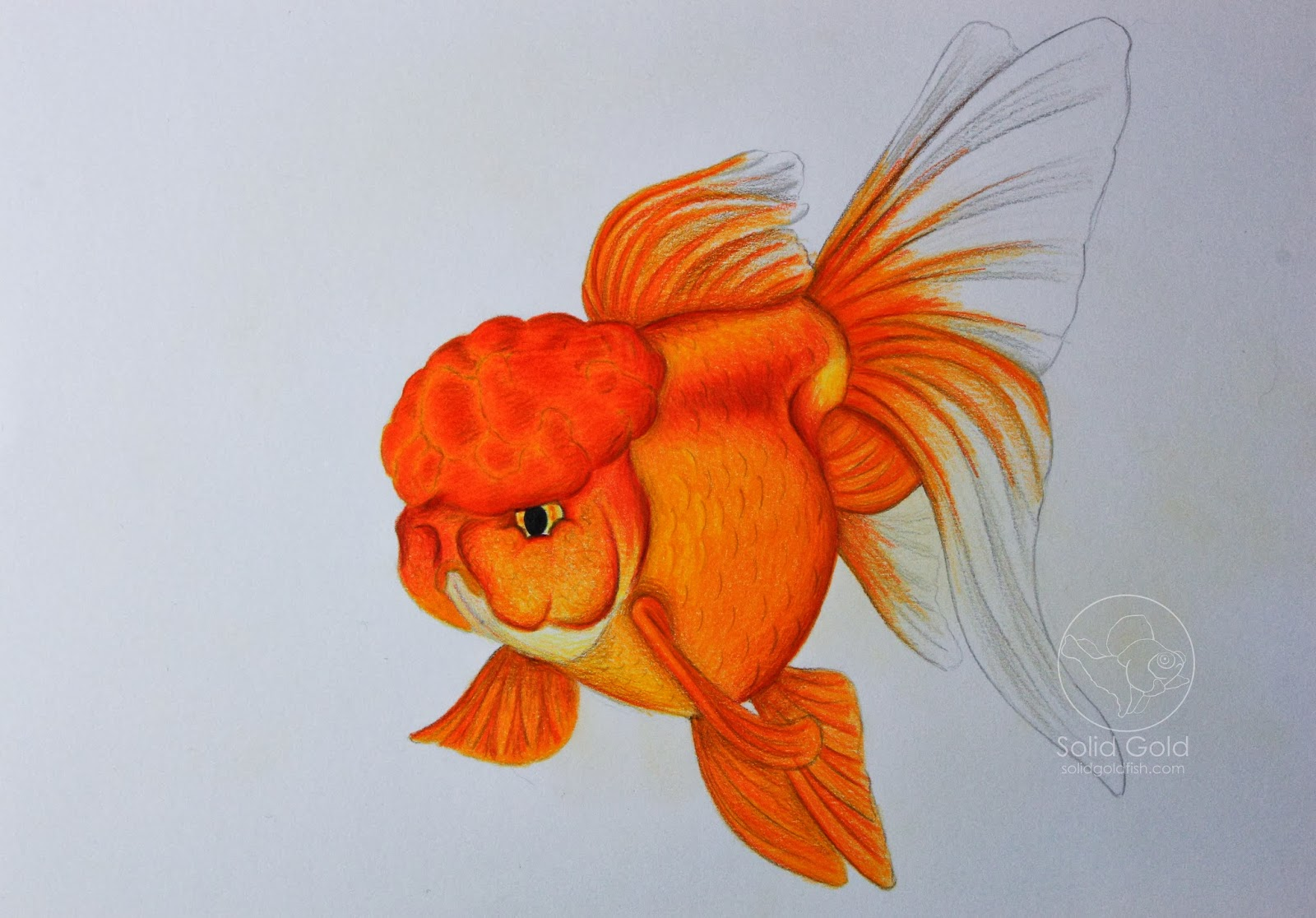Drawn goldfish fancy goldfish Gold: An Solid Gold error