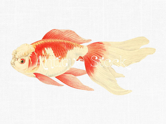 Drawn gold fish transparent background Fish Goldfish Like Chinese Digital