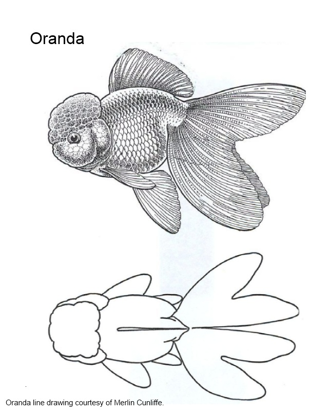 """Drawn goldfish fancy goldfish A exhibits the """"The in"""