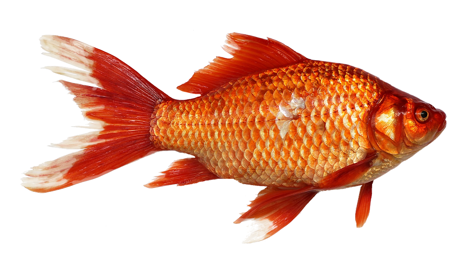 Drawn gold fish transparent background Transparent photo Goldfish Orange Fish