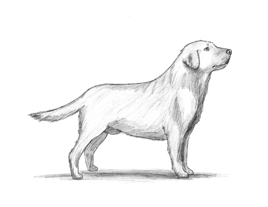 Drawn golden retriever body Dog  How to a