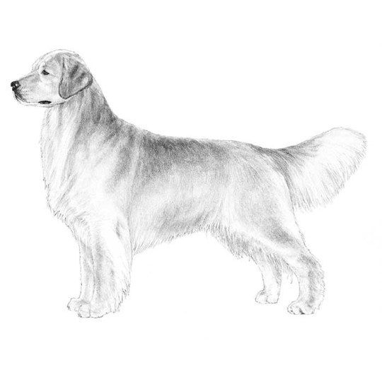 Drawn golden retriever body It? Golden See of much