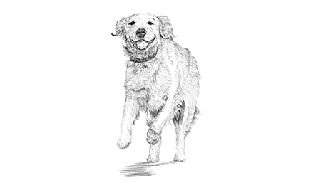 Drawn golden retriever body Body Drawing of happy Understanding