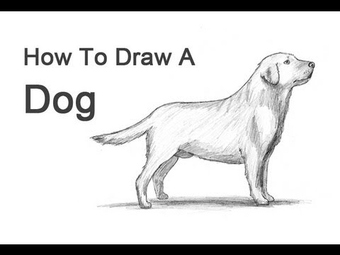 Drawn golden retriever body (Labrador  How to a