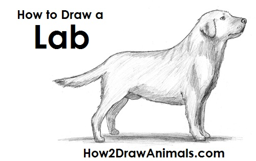 Drawn golden retriever body (Labrador Retriever) Draw Draw Labrador