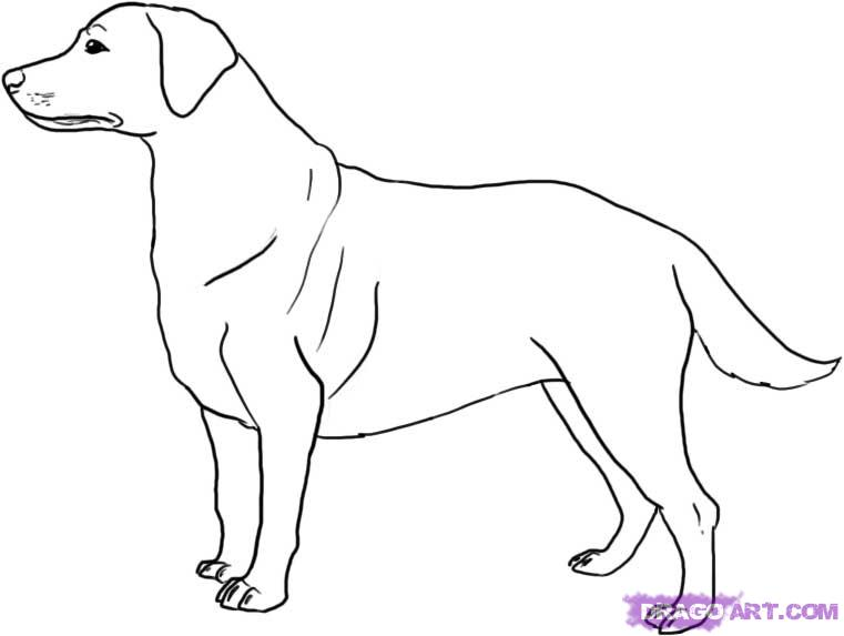 Drawn golden retriever body FREE How to retriever a
