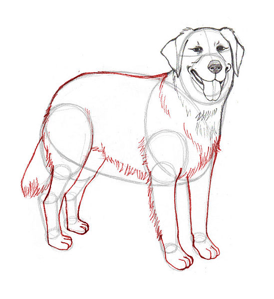 Drawn golden retriever body Sketches and body How Golden