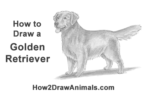 Drawn golden retriever body Draw a Dog (Golden How