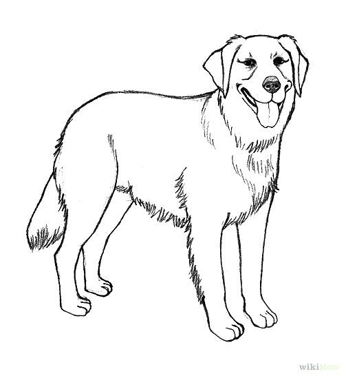 Drawn golden retriever body Images Golden Retriever To Steps