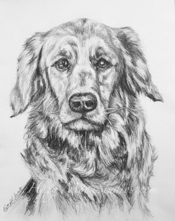 Drawn golden retriever body ShIPPING Golden  ORIGINAL PENCIL