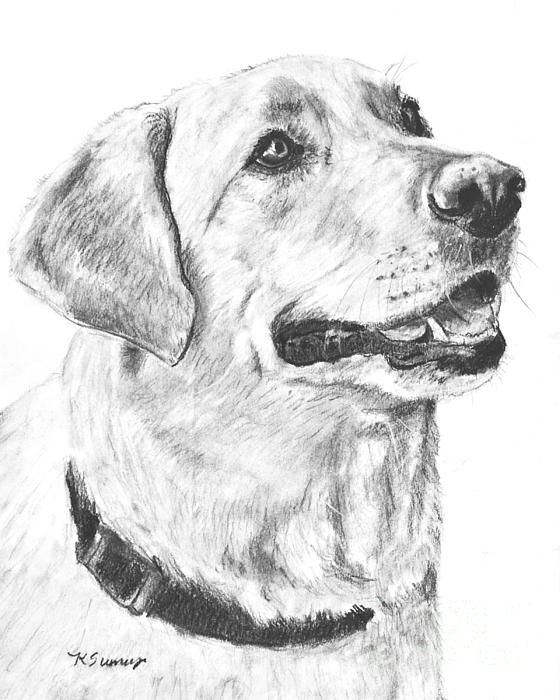 Drawn puppy charcoal Pet Yellow Drawing Lab Drawing