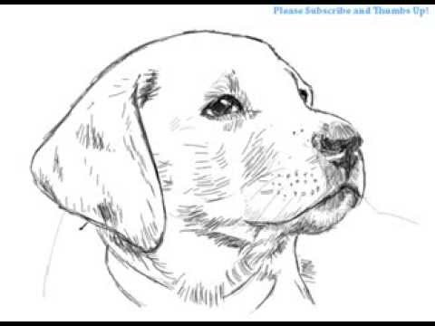 Drawn puppy realistic To Dog Labrador Handsome a