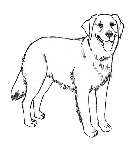 Drawn golden retriever happy thanksgiving Attorney Coloring Pages Draw dwi