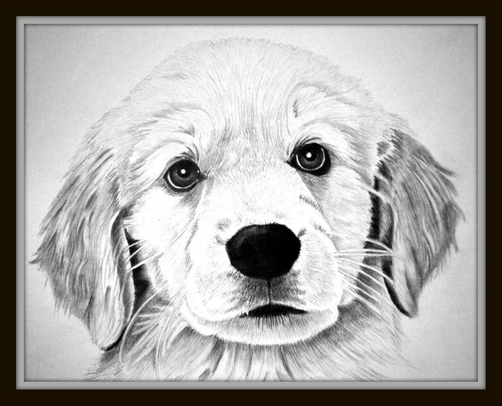 Drawn puppy golden retriever puppy About Puppy images retriever 17