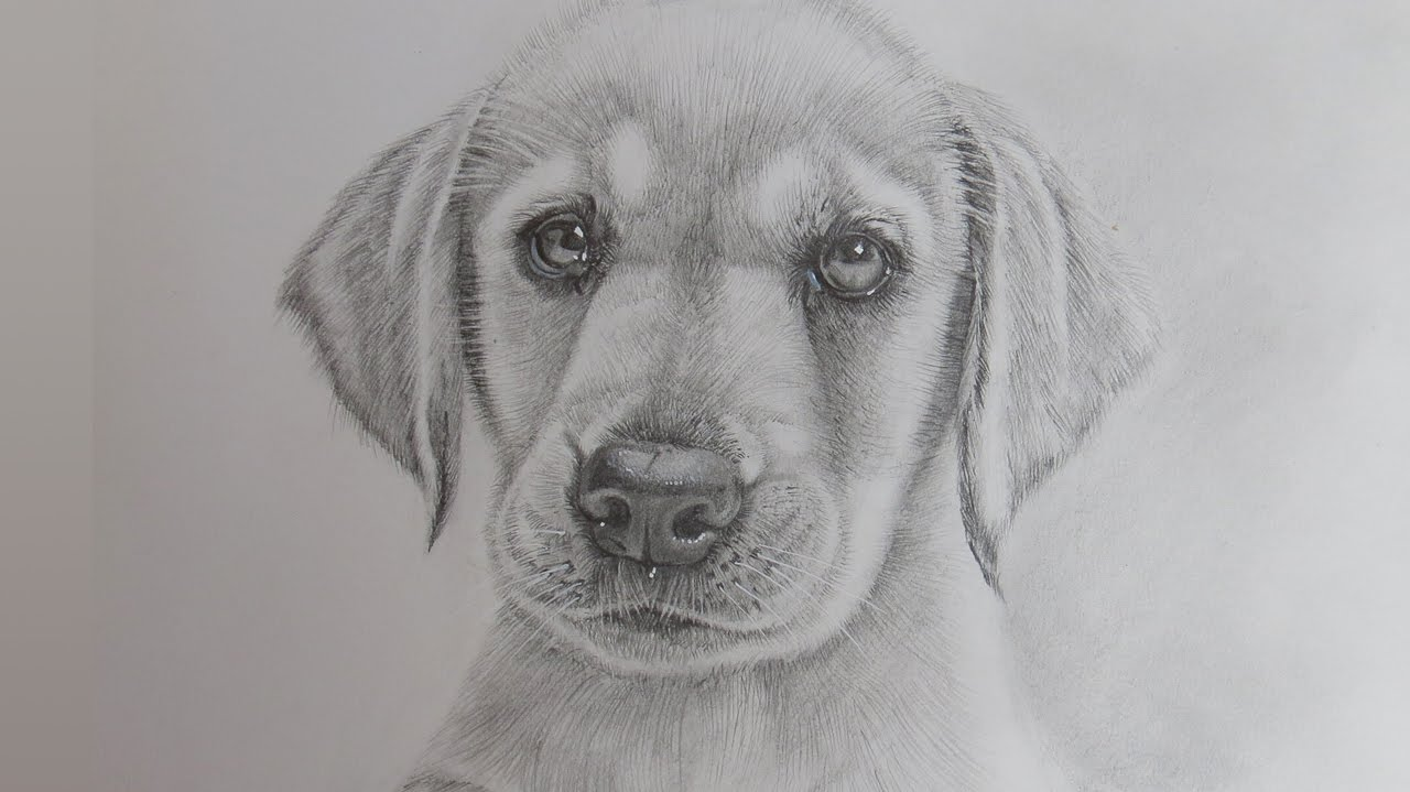 Drawn puppy realistic Retriever Draw Labrador Puppy a