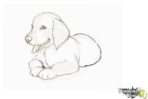 Drawn puppy golden retriever puppy Puppy Step a Puppy How