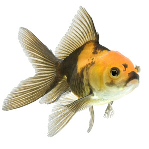 Drawn goldfish coloured fish Care goldfish Bowl How multi