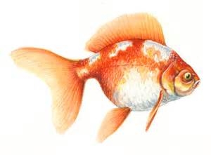 Drawn goldfish coloured fish Tropical fish Fish andrew Colored