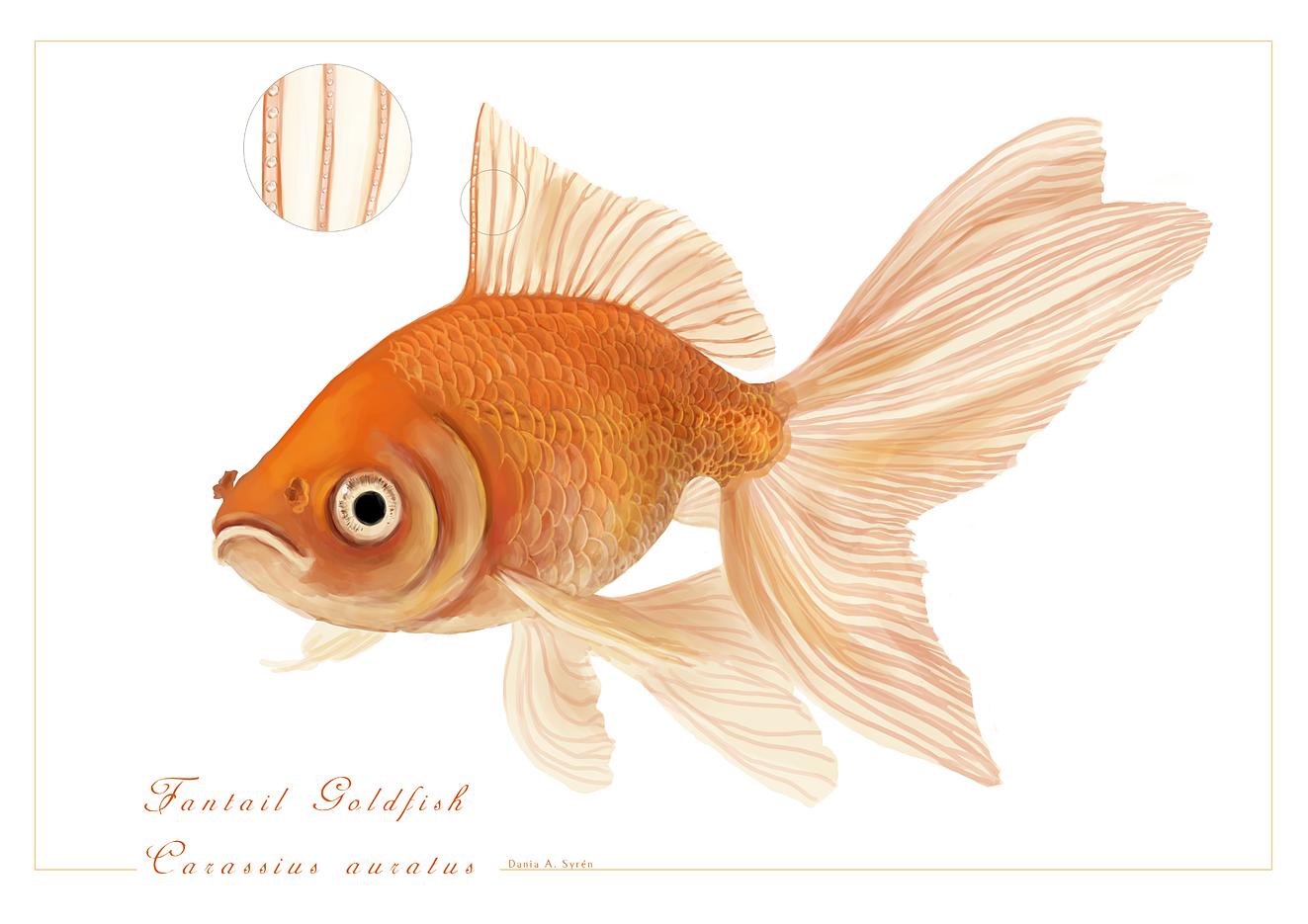 Drawn goldfish fancy goldfish Fantail Fantail photo#5 Drawing goldfish
