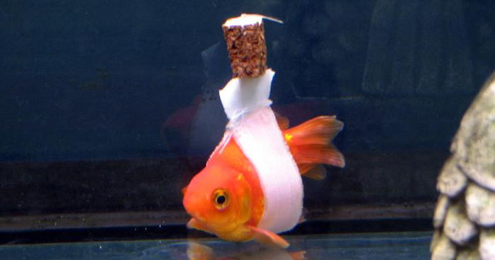 Drawn goldfish fish swimming Sick To Goldfish  Cork