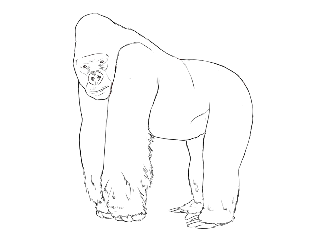 Drawn gorilla Gorilla Draw How Zoos Drawings