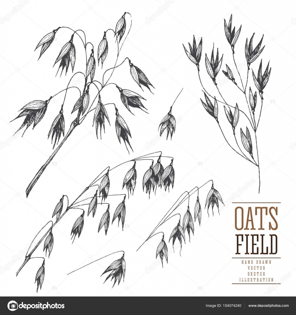 Drawn grain vintage Stems on grain collection vector