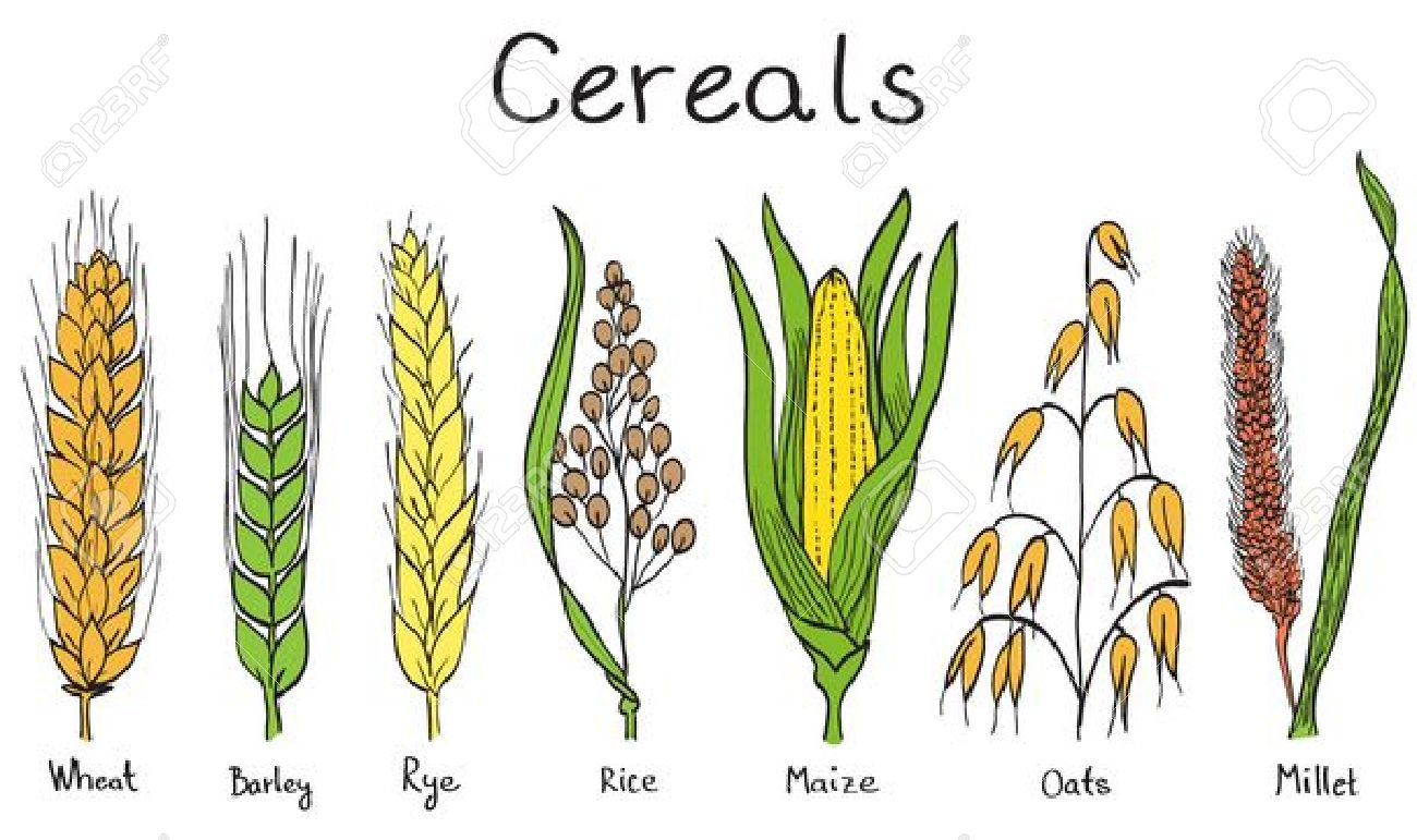 Drawn grain wheat crop Wheat clipart drawn Illustration Hand