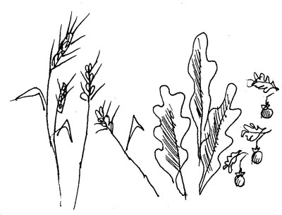 Drawn grain wheat stalk Place Toki Is Garden? Wheat
