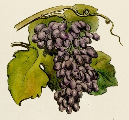 Grape clipart drawn Clip Art Fruit Drawing Images