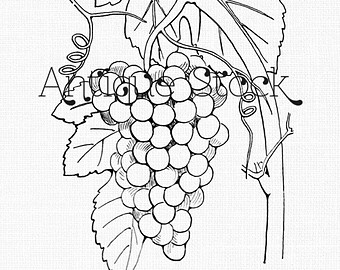 Drawn grapes cluster Clipart Illustration of Drawing Vintage