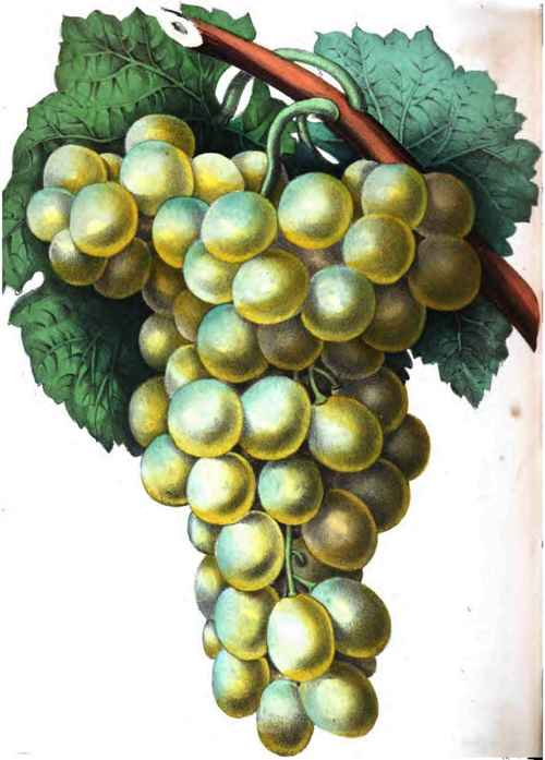 Drawn grape golden Grape Hamburgh Golden Hamburgh Grape