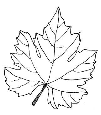 Drawn leaves vine leaf Leaves) Foods Foods wine Checking