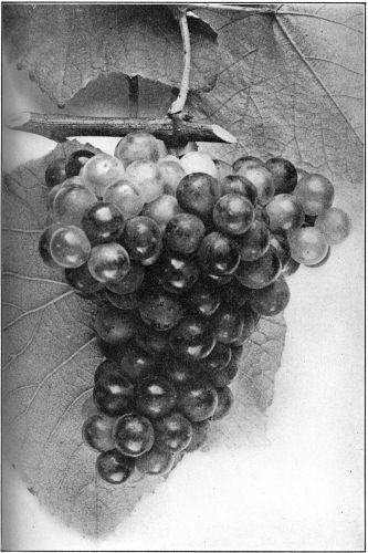 Drawn grapes pencil sketch Drawing grape grape Pinterest Grape
