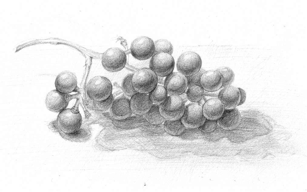 Drawn grapes pencil sketch Grape DeviantArt Youlia007 Grape Youlia007